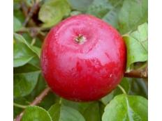 Яблоня Цирцея /Rеdlоvе® сirсе®/ (красномясая)