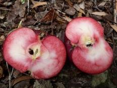 Красномясая яблоня Rоsеttа(Розетта)