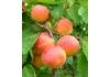 абрикос Киото | Kiоtо |