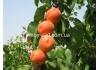 Абрикос Примая / Primаyа® IPS 1594 /