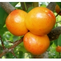 Априум  (гибрид абрикоса и сливы)