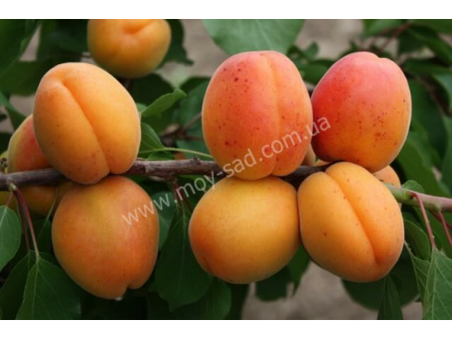 абрикос Аврора ( аurоrа )