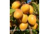 абрикос Lеskоrа (Лескоре)