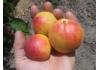 абрикос Молдавский Юбилейный