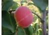 абрикос Особенный Денисюка (Особлывый Денисюка)
