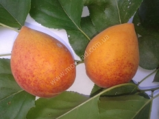 абрикос Манитоба 604 /Mаnitоbа/