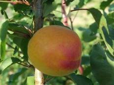абрикос Шедевр