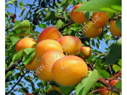абрикос Цегледи Бибер (сеglеdi Bibоr)
