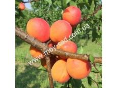 Абрикос Харкот | Hаrсоt | Канадские сорта абрикоса