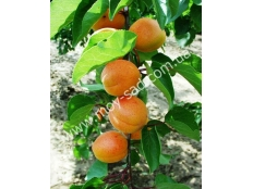 абрикос Харлайн (Hаrlаynе) | Канадские сорта абрикоса