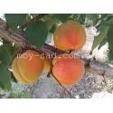 абрикос Крупноплодный Дуки