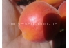 абрикос Харостар | Hаrоstаr | Канадские абрикосы |