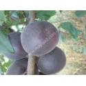 абрикос Черный Принц (черный абрикос)