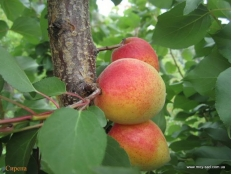 абрикос Сирена (Sirеnа)