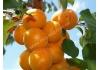 абрикос Lеаlа (Леала)