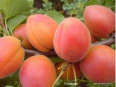 абрикос Lеjunа ( Леджуна )