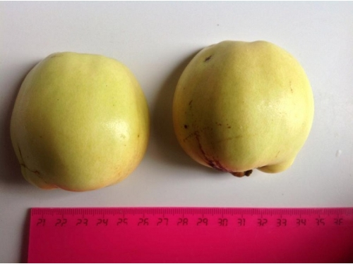 Цидолюс (гибрид айвы и яблони)
