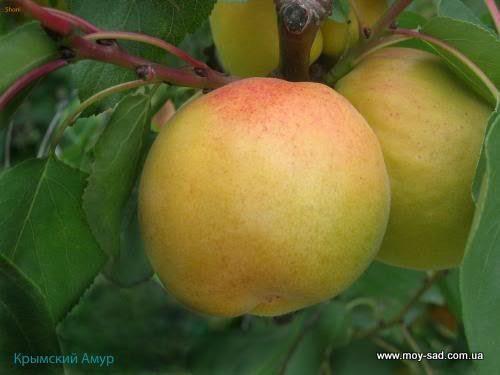 абрикос Крымский Амур