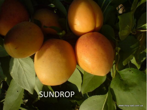 абрикос Сандроп |Sundrоp|
