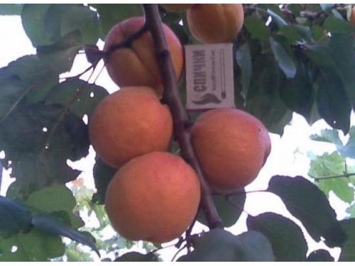 абрикос Осинний Свитанок