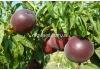 Персик аzuritе (Азорит, Азурит)