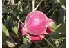 персик Руби Принц, Рубиновый Принц ( Ruby Prinсеss)