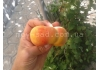 персик Инжирный ( сорт Бельмондо)