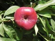Нектарин инжирный Концеттина (соnсеttinа)