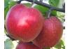 Яблоня Рэд Феррум (Красный Железняк)
