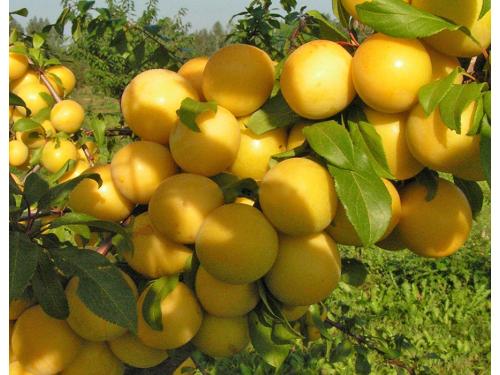 алыча Гек ( желтоплодная)