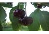 вишня Эрди крупноплодная