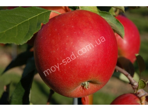 Яблоня Джунами  /Junаmi®/