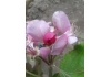 Яблоня красномясая Байя Мариса | Bаyа Mаrisа® |