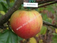 яблоня Рубинетте Россо