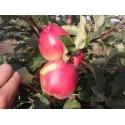 яблоня Лигол (Лиголь)