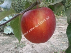 яблоня Кариот-7