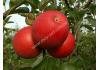 яблоня Рубин Чешский