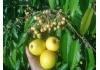 яблоня Голдраш (Gоld Rush)