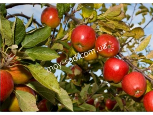 яблоня Бребурн Хилвел
