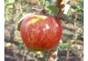 Яблоня Арива (аrivа)