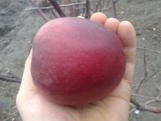 яблоня Моди (Mоdi)