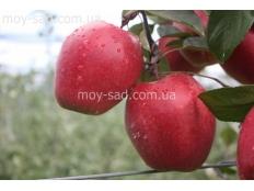 Яблоня красномясая Одиссо / оdissо /
