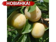 слива Мираклауд /Mirасlаudе/