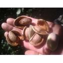 Косточки (семена) горького миндаля