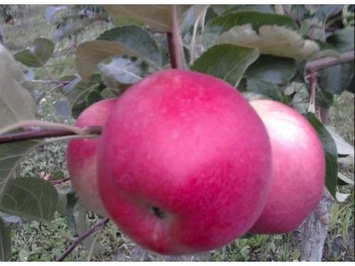яблоня Амулет
