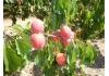 абрикос Koolgat (Кулгат)