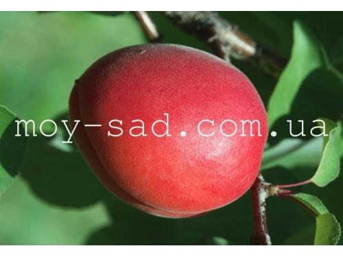 Абрикос Jengat (Дженгат) (красный абрикос