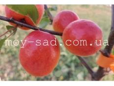 Абрикос Maya Cot® (Мая Кот)