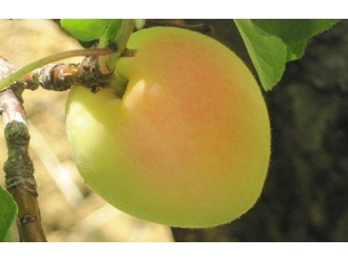 абрикос  Cibo del Paradiso (Кибо дель Парадисо)