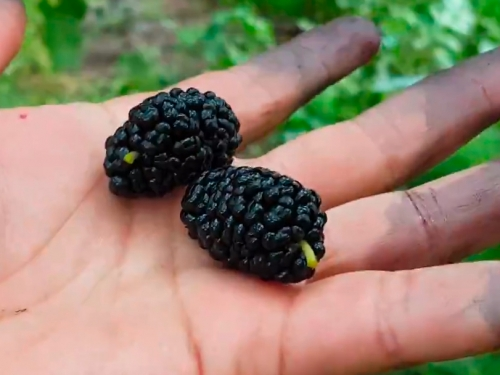 Шелковица Чёрный гигант